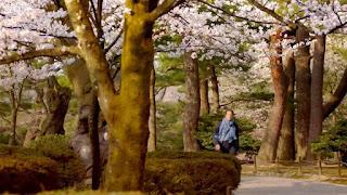 Kenroku-en Gardens Cherry Blossom trees