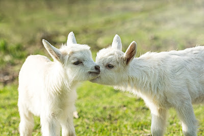 How to take care of newborn Goat Kids
