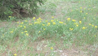 golden banner flowers in a meadow