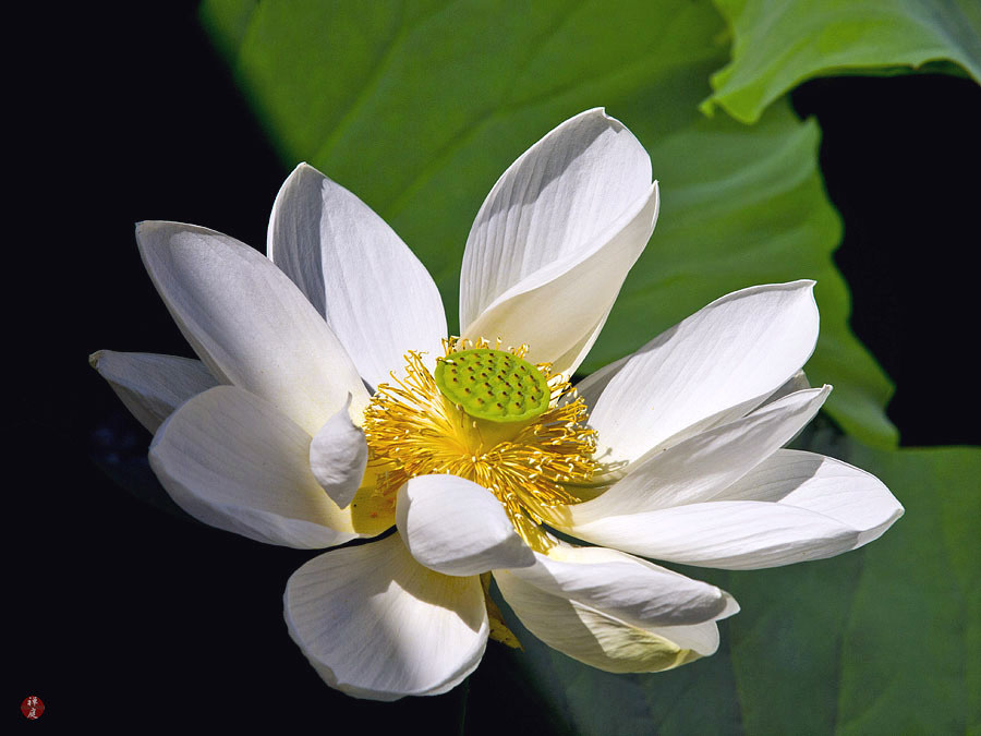 From the garden of zen a sacred lotus flower in tsurugaoka hachimangu the majestic leaves and flowers of sacred lotus grow steadily in muddy water and appear upright above water in a noble manner mightylinksfo