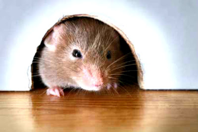 Cara yang tepat mengatasi keberadaan tikus-tikus