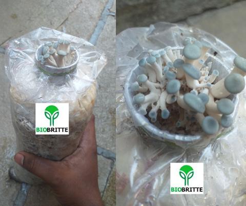 Mushroom Training Center Dapoli   Mushroom spawn supplier   Mushroom Training
