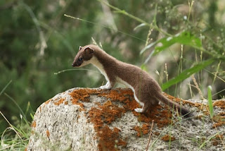 Stoat (Short-tailed Weasel)