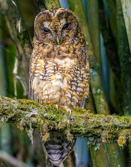 Indian birds - Image of Himalayan owl - Strix nivicolum