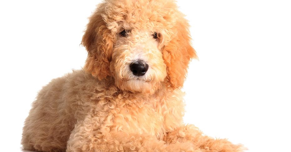 Standard Groodle Puppies Which Renowned Breed are Available For Sale in Our Dog Shop House