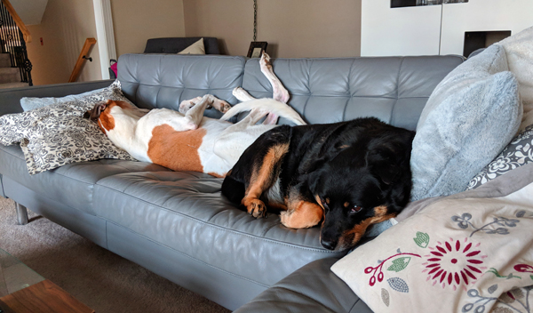 image of Dudley the Greyhound and Zelda the Black and Tan Mutt lying butt-to-butt on the sofa