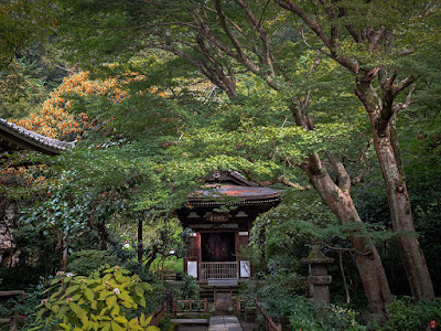 Kinmokusei (Osmanthus fragrans) flowers and Sho-kannon-do temple: Engaku-ji