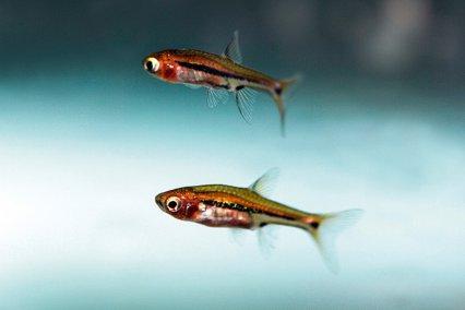 cá trâm bơi thành đàn trong bể thủy sinh - loại phổ biến