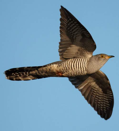 Indian birds - Image of Common cuckoo - Cuculus canorus
