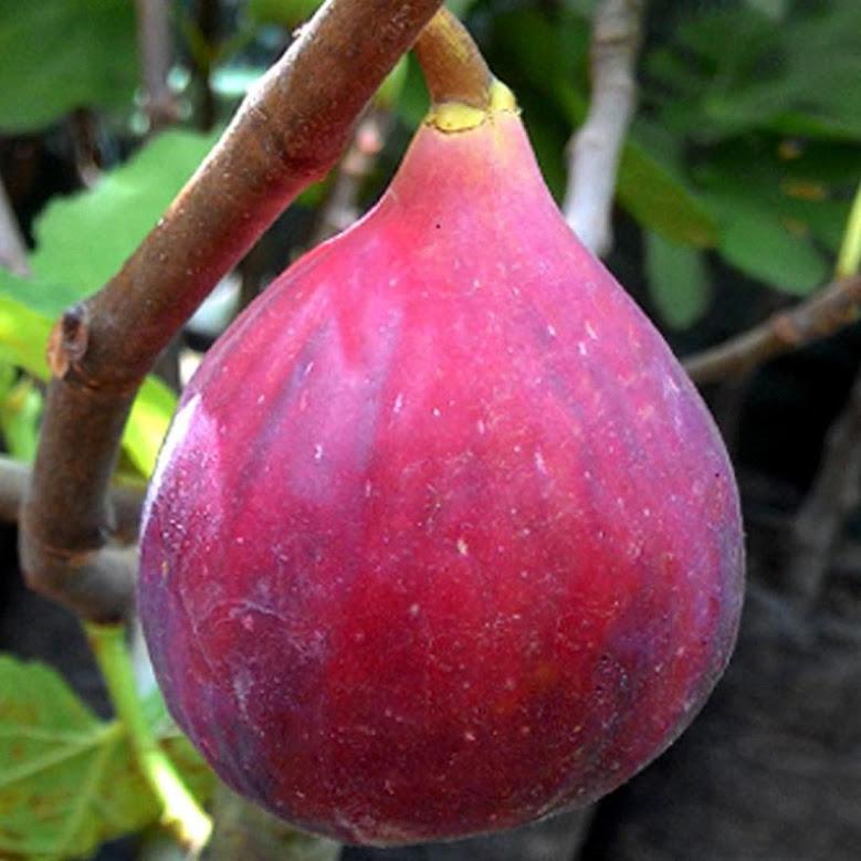 Bibit Buah Ara Tin Red Israel Khurtmani Fig Ukuran 20 40cm Pekalongan