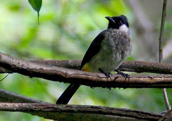 Cara Memelihara Burung Kutilang