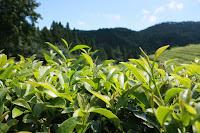 green tea plantation 497792 1920 - Ceaiul, beneficii si contraindicatii