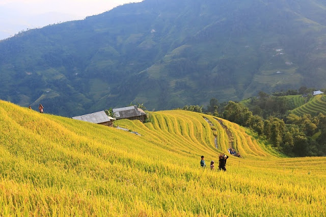 The Ripe Rice Route In Hoang Su Phi In October