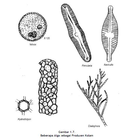 Beberapa Alga sebagai Produsen Kolam