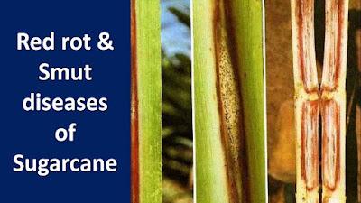 Red-rot-smut-disease-of-sugarcane