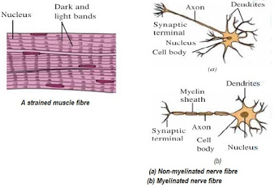 To identify striped muscle fibers and nerve cells in animals lab nerve fibres under high magnification the nerve fibre shows nerve cells which have three parts a cell body dendrites and axon the axon may or may ccuart Image collections