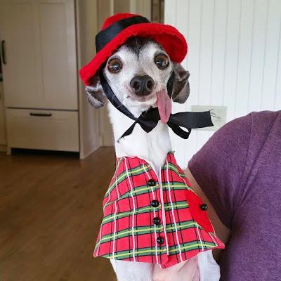 Perro vestido a cuadros y sombrero