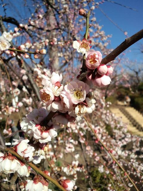 羽根木公園で3月4日まで行われている「せたがや梅まつり」の模様です。
