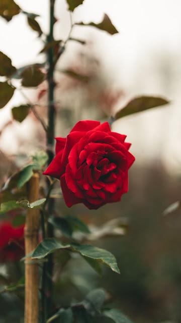 Wallpaper beautiful red rose
