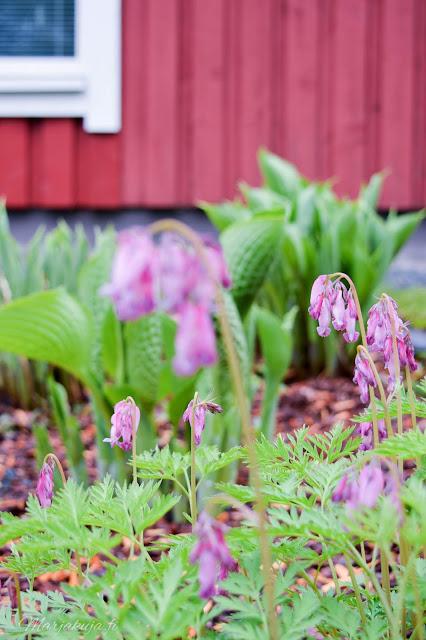 tulppani kukkamaa kesä kesäsade kukkapenkki kukka flower tulips särkynyt sydän pieni kuunlilja