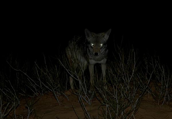 Loup dans le Gard