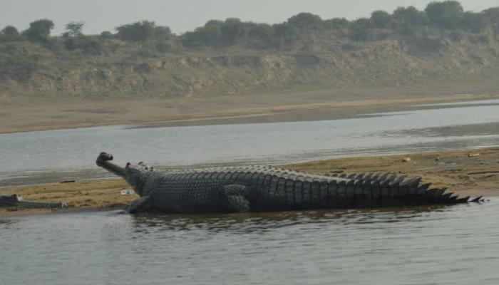 Gharial, Gavialis Gangeticus, Chambal river, Upstream, National Chambal Gharial, Wildlife Sanctuary in Morena, Wildlife, The wildlife india,