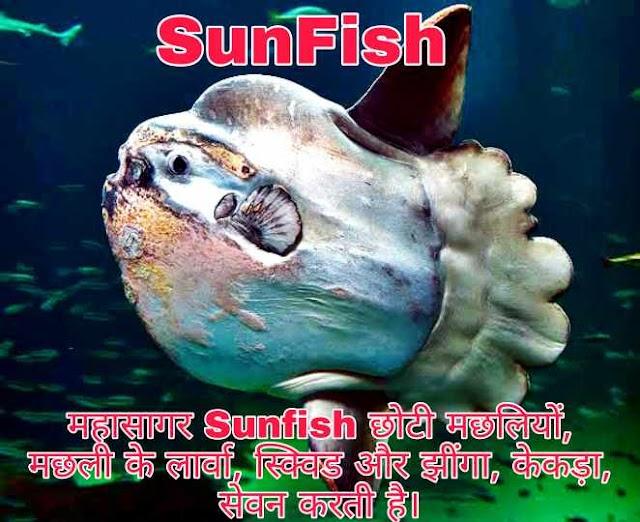 Ocean Sun Fish यानी सूर्य मछली क्या है और ये समुद्री मछली है या नही ?