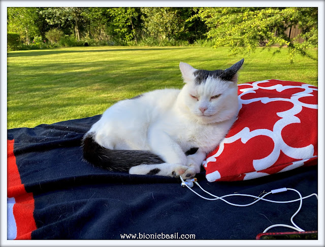 Sunny Smooch on Mancat Monday at BBHQ ©BionicBasil® 18-5-20