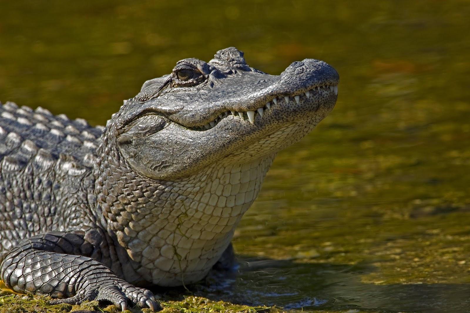 animals alligator alligator hd wallpapers, animal wallpapers
