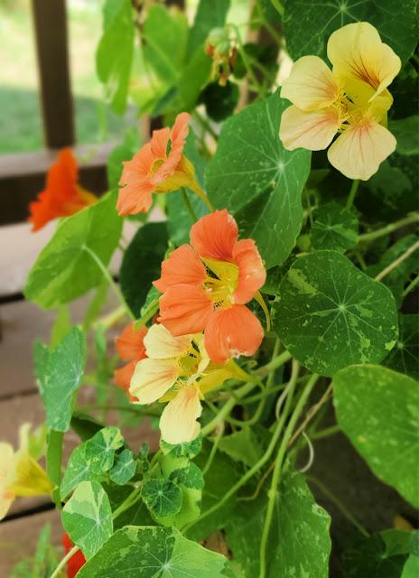 nasturtium growing in planter