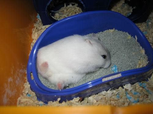 Pasir Hamster