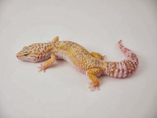 jual gecko, jual gecko kualitas kontes, jual gecko kediri, jual gecko kontes, jual kalsium gecko, jual gecko murah kaskus, jual kandang gecko, jual kadal gecko, jual kandang gecko kaskus, jual leopard gecko kaskus, jual gecko leopard jakarta, jual gecko langka, jual gecko lampung, jual leopard gecko surabaya, jual leopard gecko sunglow, jual leopard gecko semarang, jual leopard gecko baby, jual leopard gecko di jakarta, jual leopard gecko murah jakarta, jual gecko macksnow, jual gecko madagascar, jual gecko murah di surabaya, jual gecko murah di bandung, jual gecko murah meriah,