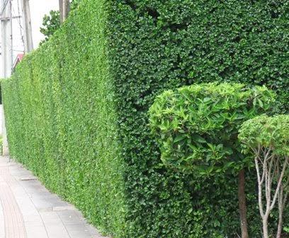 ต้นข่อย ต้นไม้ทำรั้ว