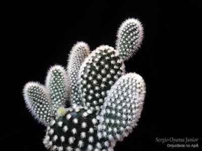 Cacto Opuntia microdasys