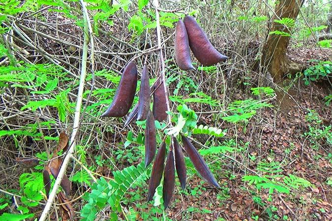 Dlium Secang (Caesalpinia sappan)