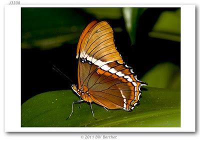 Mariposa siproeta (Siproeta epaphus)