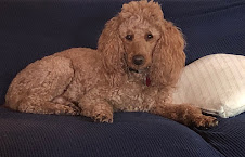 Reggie,  AKC, 30 lb poodle sire, for F1 medium goldendoodles and F2b goldendoodles
