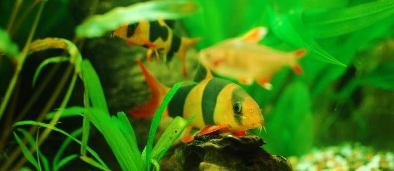 Budidaya Ikan Hias Botia (Clown Loach)