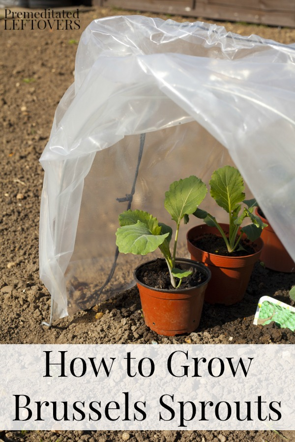 brussel sprouts seeds how to grow