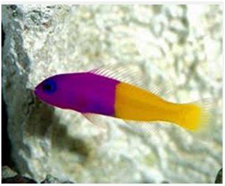 Jenis Ikan Laut Hias Aquarium Pseudochromis