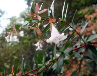 flores de la abelia