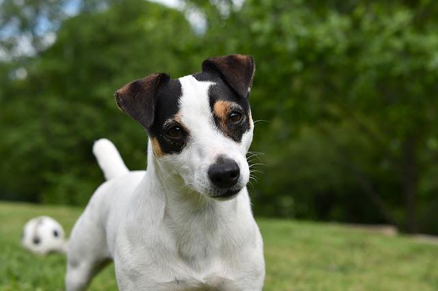 Jack russel terrier in a park