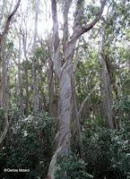 Eucalyptus twisted bark - 'Aiea Loop Trail, Oahu, HI