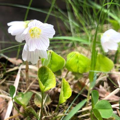 Käenkaalissa eli ketunleivässä on pienet valkoiset kukat, violetit suonet ja apilaiset sydämenmuotoiset lehdet.