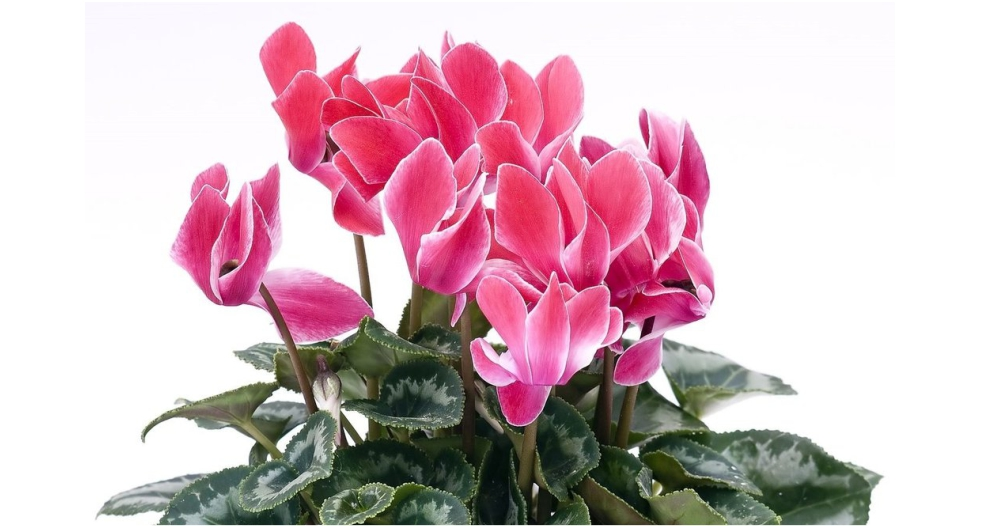 أجمل النبتات المنزلية الداخلية وهي بخور مريم