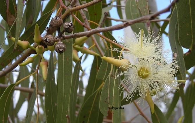 Eucalyptus Satu Tanaman Beragam Manfaat