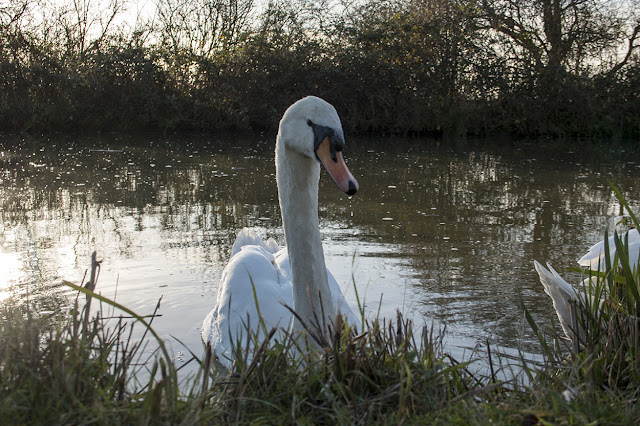 Mute Swan, backlit at the edge of the Grand Union Canal
