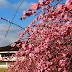 春立ちて 梅枝垂れたり 今盛り@北九州市立総合農事センター