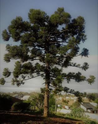A foto mostra uma árvore Araucária ainda jovem, mas mostra sua imponência no resto da Mata Antártica.
