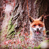 Photos of Ireland: Fox in County Wicklow